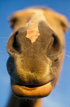 Haflinger-Nase, Briefkarte