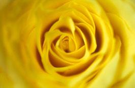 Gelbe Rose, Briefkarte