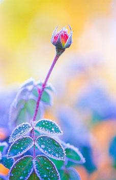 Rosenknospe im Frost, Briefkarte