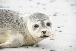 Junger Seehund, Briefkarte