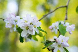 Stillleben mit Apfelblüten, Briefkarte