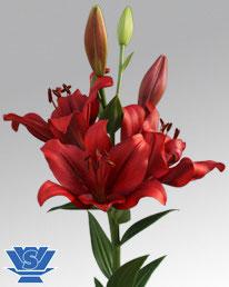 Lys asiatique rouge
