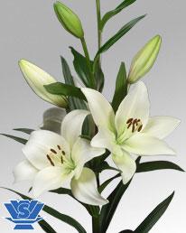 Lys asiatique blanc