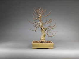 Winterlinde, Tilia cordata, Bonsai - Solitär