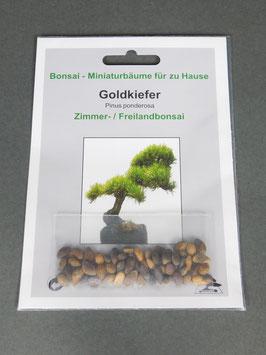 Goldkiefer, Pinus ponderosa, Zimmer- und Freilandbonsai, Geschenkidee, Bonsai-Samen