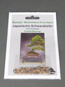 Japanische Schwarzkiefer, Pinus thunbergii, Freilandbonsai, Geschenkidee, Bonsai - Samen