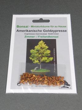Samen+Anzuchtset: Amerikanische Goldzypresse , Cupressus macrocarpa, Zimmerbonsai, Freilandbonsai, Geschenkidee, Bonsai - Samen