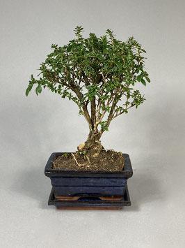 Junischnee, Baum der tausend Sterne / Serissa foetida variegata, Zimmerbonsai / Indoorbonsai, Bonsai Geschenk Set, Zimmerbonsai, blühender Bonsai