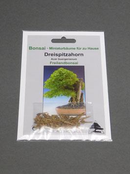Dreispitzahorn, Acer buergerianum, Freilandbonsai, Geschenkidee, Bonsai-Samen im Geschenkkarton