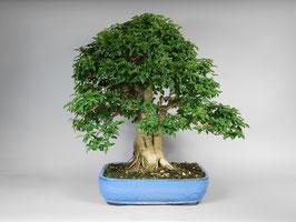 Chinesischer Liguster, Ligustrum sinensis, Bonsai Geschenkidee, Zimmerbonsai / Indoorbonsai, Pflegeleicht