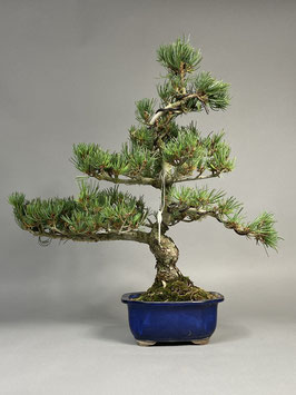 Mädchen - Kiefer, Pinus pentaphylla, Japan, Outdoor - Bonsai, Freilandbonsai