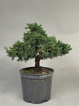 Chinesischer Wacholder, Juniperus chinensis, Outdoor - Bonsai Rohling, Prebonsai, Freilandbonsai, Outdoor - Bonsai