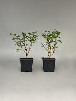 Märzkirsche, Prunus incisa ´Kojou-no-mai´, 4 Jahre, Bonsai - Jungpflanze