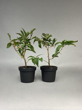Zwergkirsche  / Kurilenkirsche , 4 Jahre, Bonsai - Jungpflanze