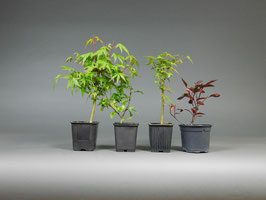 Bonsai-Set 3