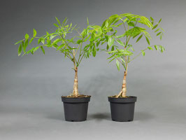 Wisteria floribunda 'Rosea', Rosafarbener japanischer Blauregen, 5 Jahre, Bonsai - Jungpflanze