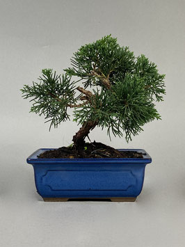 Chin. Wacholder, Juniperus chinensis, Bonsai - Solitär, Outdoorbonsai