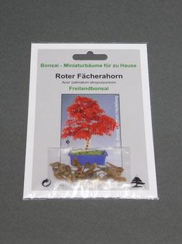 Roter Fächerahorn, Acer palmatum atropurpureum, Freilandbonsai, Geschenkidee, Bonsai-Samen im Geschenkkarton