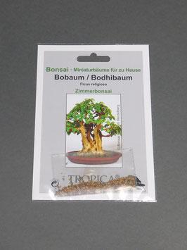 Bobaum / Bodhibaum, Ficus religiosa, Zimmerbonsai, Geschenkidee, Bonsai - Samen im Geschenkkarton