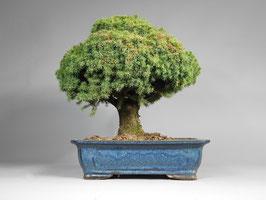 Gemeine Fichte, Picea abies, Gartenbonsai, Freilandbonsai, Geschenkidee, Rarität