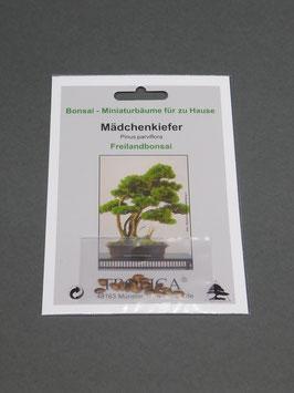 Mädchenkiefer, Pinus parviflora, Freilandbonsai, Geschenkidee, Bonsai-Samen im Geschenkkarton