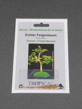 Samen+Anzuchtset: Echter Feigenbaum, Ficus carica, Zimmer-Freilandbonsai, Geschenkidee, Bonsai-Samen