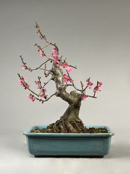 Japanische Aprikose, Prunus mume, Blühender Outdoor - Bonsai, Freilandbonsai, Geschenkidee
