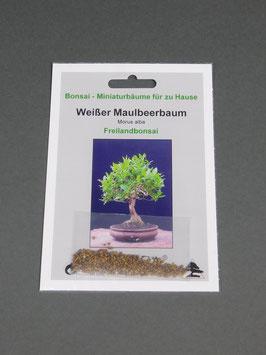 Weißer Maulbeerbaum, Morus alba, Freilandbonsai, Geschenkidee, Bonsai-Samen