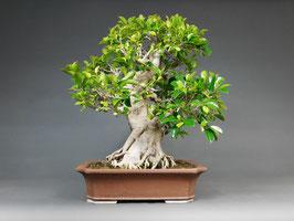 Chin. Feigenbaum / Ficus microcarpa ( retusa ), Zimmerbonsai / Indoorbonsai, Solitär