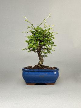 Zwerg Ulme, Ulmus parvifolia `nire keyaki`, Outdoor - Bonsai, Freilandbonsai, Solitär