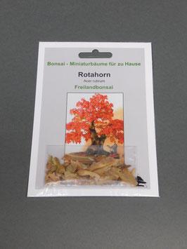 Samen+Anzuchtset: Rotahorn, Acer rubrum, Freilandbonsai, Geschenkidee, Bonsai-Samen