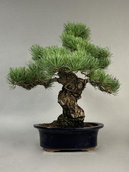 Mädchen - Kiefer, Pinus pentaphylla, Japan, Outdoor - Bonsai, Freilandbonsai