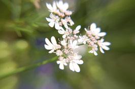 Coriandrum sativum (Saatgut)