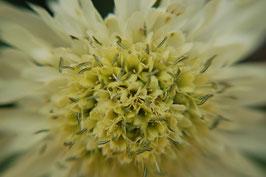 Cephalaria gigantea (Saatgut)