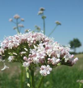 Valeriana officinalis (Saatgut)