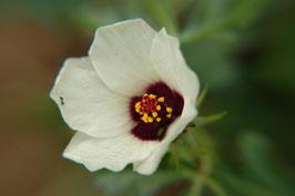 Hibiscus trionum (Saatgut)