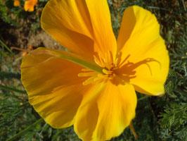 Eschscholzia californica (Saatgut)