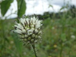 Dipsacus pilosus (Saatgut)