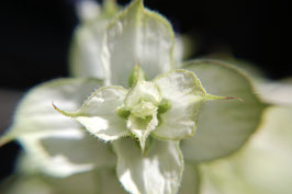 Salvia sclarea (Saatgut)