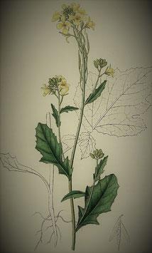 Brassica nigra (Saatgut)