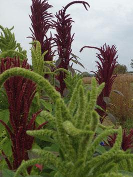 Amaranthus spec. (Saatgut)
