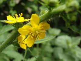 Agrimonia eupatoria (Saatgut)
