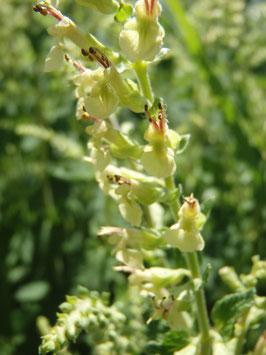 Teucrium scorodonia (Saatgut)