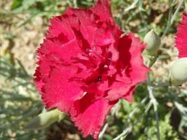 Dianthus caryophyllus -Mix- (Saatgut)