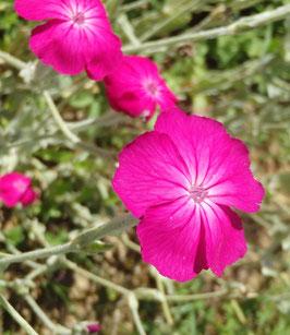 Lychnis/Silene coronaria (Saatgut)