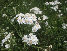 Achillea ptarmica (Saatgut)