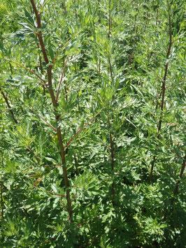 Artemisia vulgaris (Saatgut)