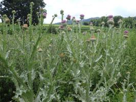 Onopordum acanthium (Saatgut)