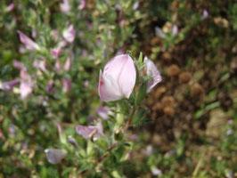 Ononis spinosa (Saatgut)