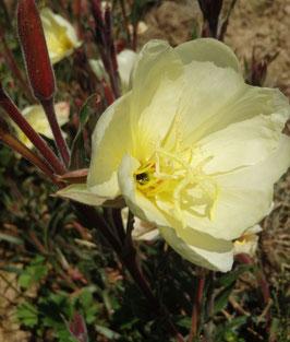 Oenothera odorata (Saatgut)